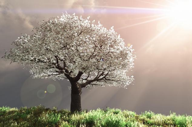 Prunus blanc en fleur.