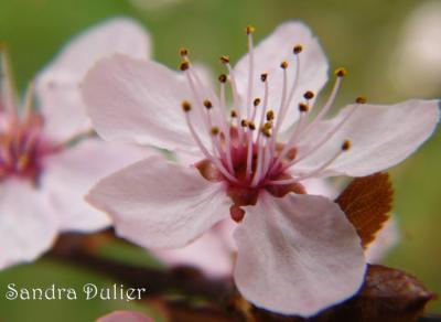 Fleur de prunus.