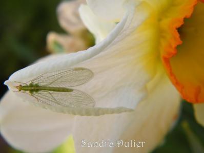 Narcisse 2