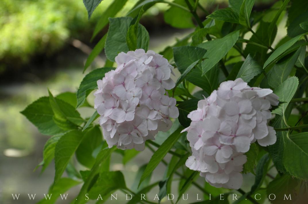 Pairi daiza jardin chinois hortensia