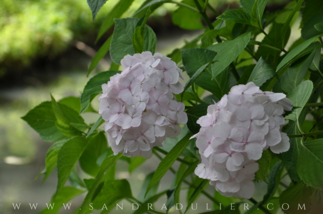 Pairi Daiza - Jardin chinois -  Chemin de la Guérison - Belgique - macro - hortensia - zen - poésie.