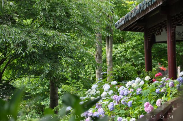 Pairi Daiza - Jardin chinois - hortensias - Chemin de la guérison - Belgique - hortensias - zen - poésie