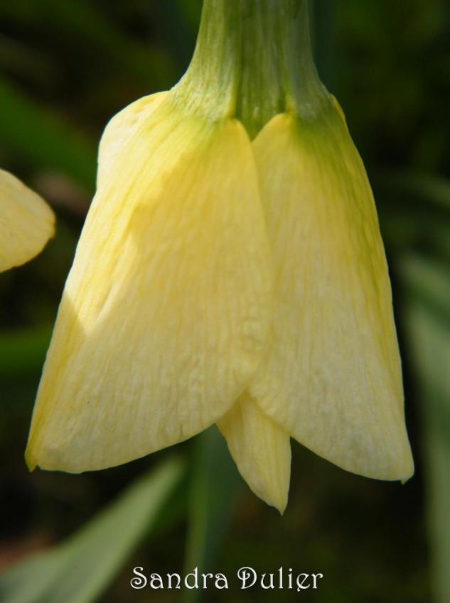 Narcisse en bouton. Printemps, jaune, Pâques, jonquille.